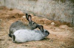2 кролика на усадьбе стоковая фотография