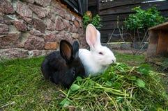 кролики 2 зеленого цвета травы Стоковые Фотографии RF