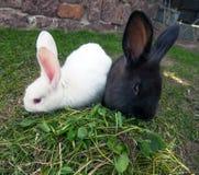 кролики 2 зеленого цвета травы Стоковые Изображения RF