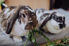 Кролики дома Стоковые Фотографии RF