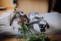 Кролики дома Стоковое Изображение