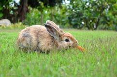 Кролик Брайна есть морковь Стоковое Изображение