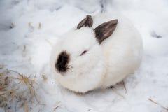 Кролик в зиме Серые и белые зайчики в зиме на снеге стоковое фото