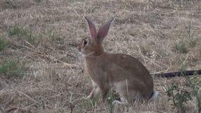 Кролик в поле 2 сток-видео