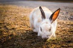 Кролик есть траву Стоковое Изображение RF