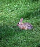 Кролик живой природы Стоковая Фотография