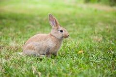 Кролик зайчика на траве Стоковая Фотография RF