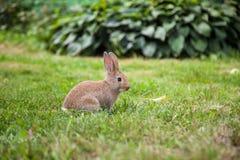 Кролик зайчика на траве Стоковое Фото