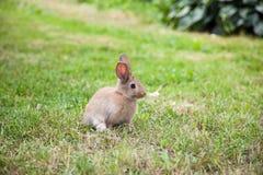 Кролик зайчика на траве Стоковые Изображения