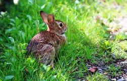 Кролик зайчика сидя в зеленой траве Стоковое Изображение RF