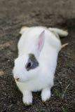 Кролик зайчика Cottontail есть траву в саде Стоковое Изображение RF