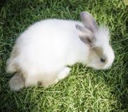 Кролик зайчика Cottontail есть траву в саде Стоковое Изображение