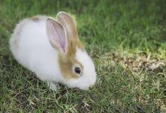 Кролик зайчика Cottontail есть траву в саде Стоковые Изображения