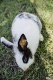 Кролик зайчика Cottontail есть траву в саде Стоковые Фотографии RF