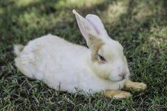 Кролик зайчика Cottontail есть траву в саде Стоковое фото RF