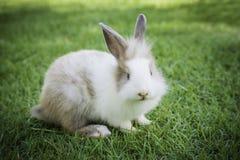Кролик зайчика Cottontail есть траву в саде Стоковое Фото