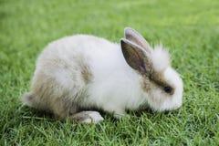 Кролик зайчика Cottontail есть траву в саде Стоковые Фото