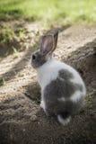 Кролик зайчика Cottontail есть траву в саде Стоковая Фотография RF