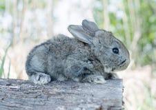 Кролик зайчика Cottontail есть траву Стоковое Фото
