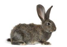 Кролик, изолированный на белизне стоковая фотография