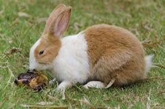 Кролик обнюхивает тухлое манго стоковое фото rf