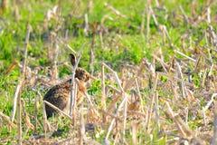 кролик одичалый стоковые изображения