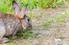 кролик травы одичалый Стоковые Фотографии RF