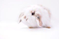 Кролик уха кролик-Анголы любимчика длинный Стоковое Фото