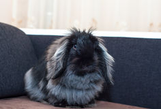 Кролик черноты Ангоры Стоковые Изображения RF