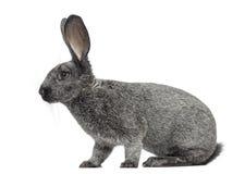 Кролик Argente изолированный на белизне Стоковые Изображения RF