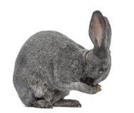 Кролик Argente изолированный на белизне Стоковые Фотографии RF