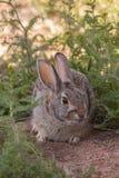 Кролик Cottontail в засорителях Стоковые Изображения
