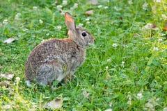 Кролик Cottontail в клевере Стоковое Изображение