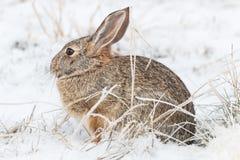 Кролик Cottontail в снеге зимы Стоковая Фотография
