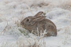 Кролик Cottontail в снеге Стоковое Фото