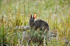Кролик Cottontail в луге после дождя Стоковое Изображение