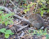 Кролик Cottontail на пути Стоковое Изображение