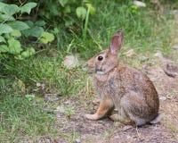 Кролик Cottontail на пути Стоковая Фотография