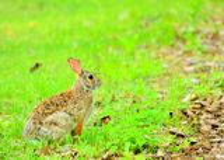 Кролик Cottontail Стоковые Фото