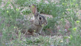 Кролик Cottontail сток-видео