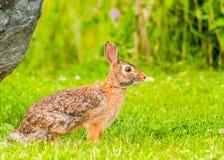 Кролик Cottontail Стоковое фото RF