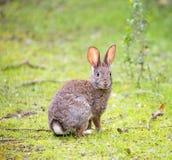 Кролик Cottontail - Sylvilagus Стоковое фото RF