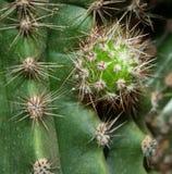 Круглый молодой кактус с терниями Стоковое Фото