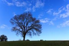 Круглый силуэт большого дерева на зеленом холме против голубого неба Стоковое фото RF