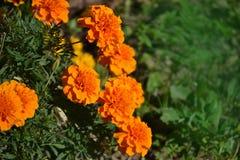 Круглый, яркий апельсин цветет ноготки Стоковое Изображение