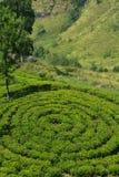 Круговое самое лучшее плантации чая чая, Шри-Ланка стоковая фотография
