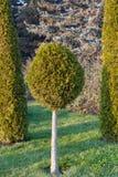 Круглая сосна на предпосылке зеленого цвета Стоковые Фото