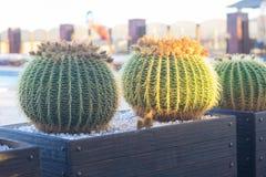Круглые кактусы растя в баке на заходе солнца Стоковая Фотография RF