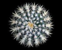 Круглый зеленый кактус изолированный на черной предпосылке стоковое изображение