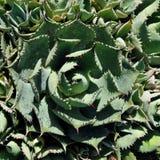 Круглый крупный план кактуса, макрос кактуса столетника Стоковые Фото
